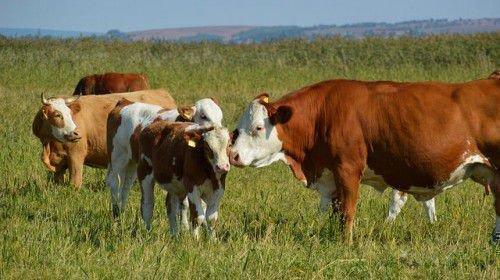 Коровы и телята на пастбище