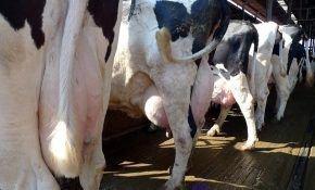 Диагностические исследования коров на мастит