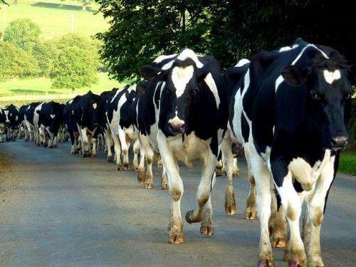 Коровы идут по дороге
