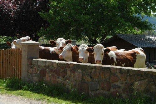Коровы Монбельярд