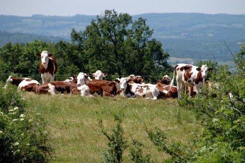 Коровы Монбельярд на лугу