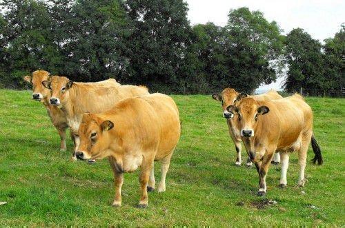 Коровы обрак
