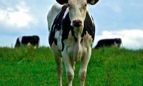 Чем кормить корову для получения хороших удоев