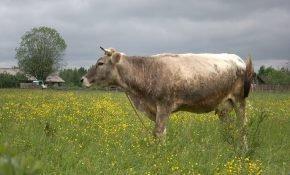 Описание костромской породы коров