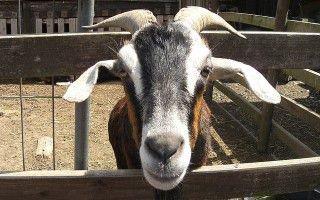Выгодность молочного козоводства