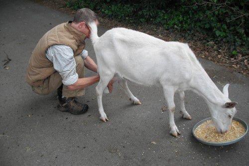 Коза кушает