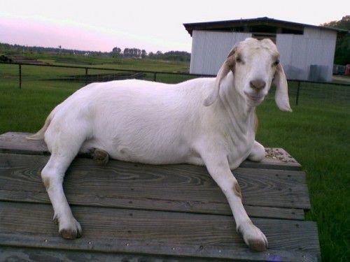 Коза на будке