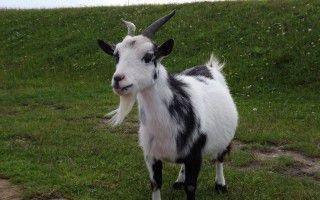 Организация кастрации у козлов