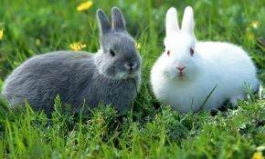 Все о спаривании кроликов