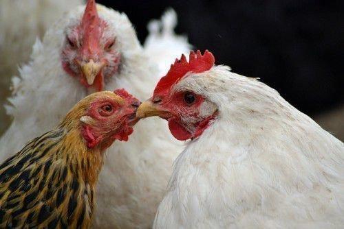 Три курицы