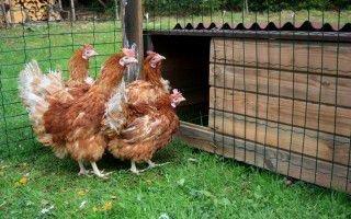 Значение комбикорма для кур