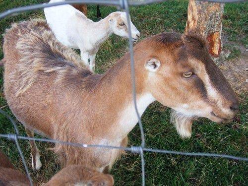 Ламанчская коза