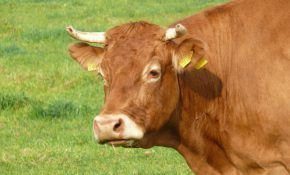 Характеристика лимузинской породы мясных коров