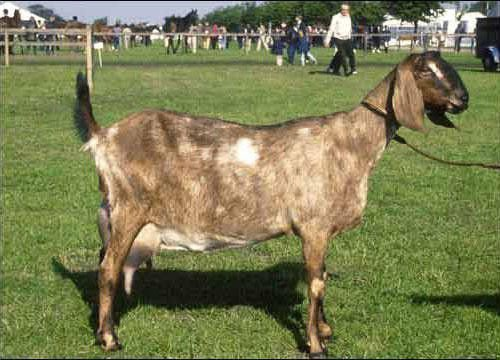 Мегрельская коза