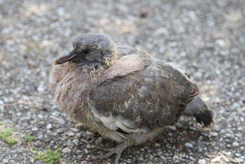 Месячный голубенок