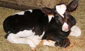 Кормление новорожденных телят и уход за ними