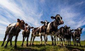 Выращивание и кормление телят в молочный период