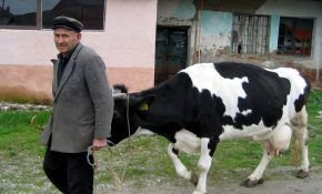 Лечение и симптомы бруцеллеза у коров