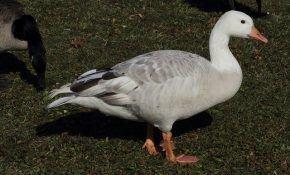 Организация питания гусей