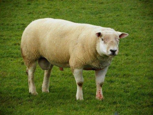 Овца тексель