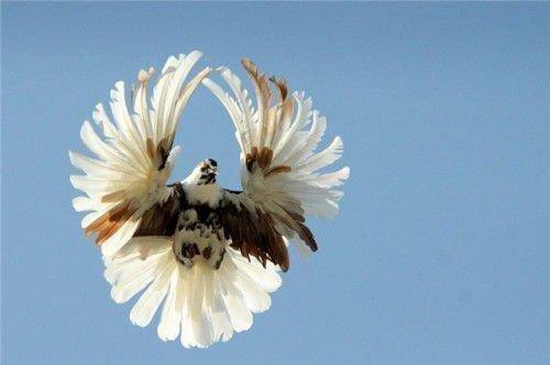 Николаевский голубь