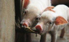 Разведение свиней. Правило второе - водопоение. Ниппельные поилки.