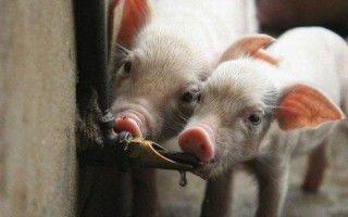 Разведение свиней. Правило второе — водопоение. Ниппельные поилки.