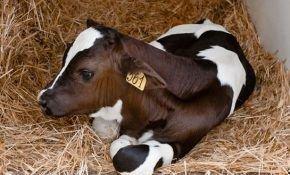 Как узнать живой вес КРС (теленка) без весов?