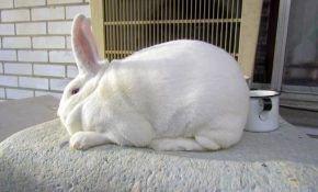 Новозеландские кролики и их значимость