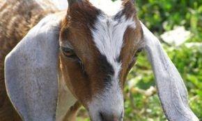 Покупка подходящей козы