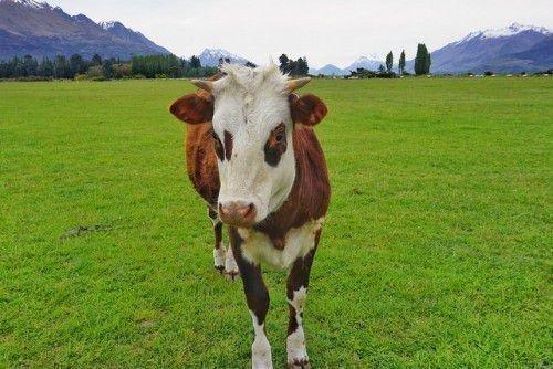 Один теленок на лугу