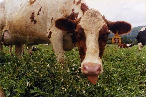 Отек вымени у коровы