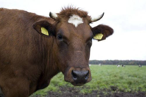 Откорм коровы