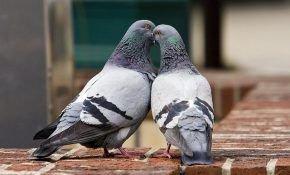 Домашние голуби: особенности размножения