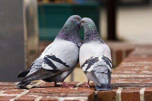 Пара голубей серых