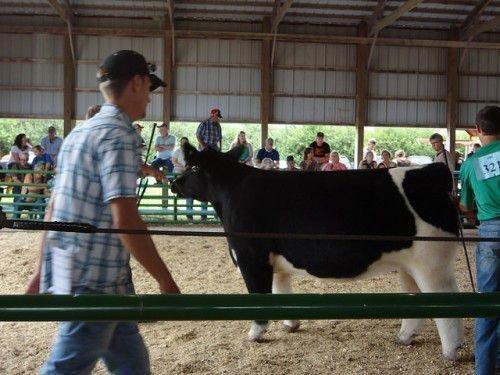 Плюшевая корова на выставке