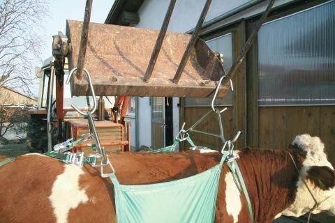 Подъемник для коров