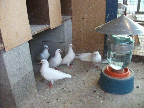 Поилка для голубей