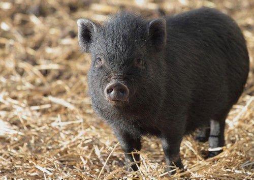 Серая свинья