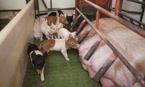 Как организовать в домашних условиях кормление поросят без свиноматки