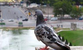 Все о почтовых голубях