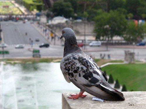Простой голубь