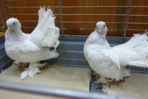 Ростовские голуби