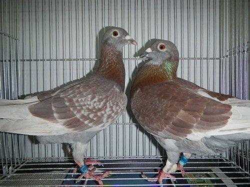Самец и самка голубя