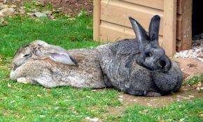 Разведение и уход за кроликами Великанами