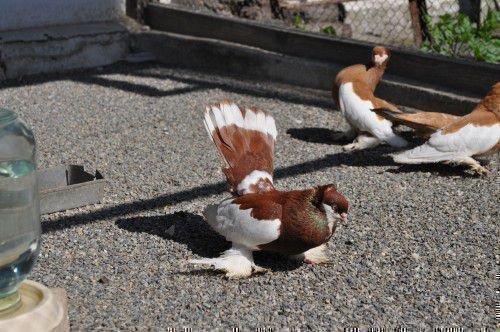 Шалевый голубь