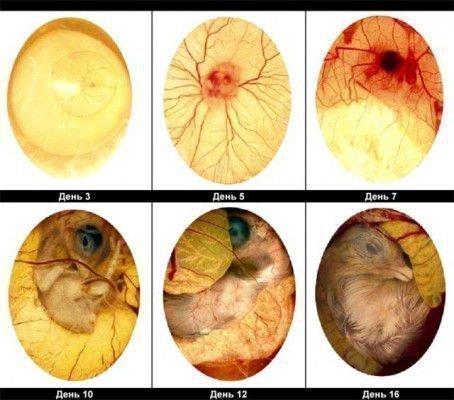 Схема яиц