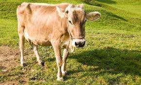 Особенности швицкого рогатого скота