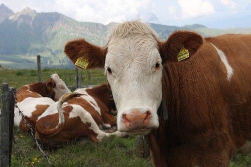 Спокойная корова
