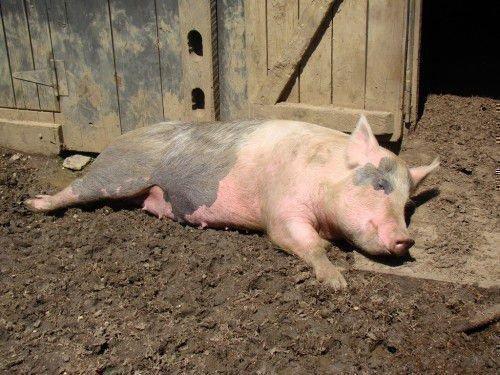 Спокойная свинья